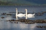 Swans on Loch Etive